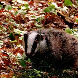 badger-625801_1920