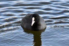 coot-3146937_1920